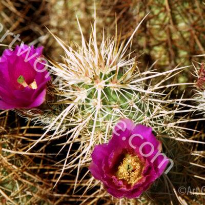 hedgehog-cactus_w