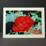 Velvet-Rose-Photo-Cards