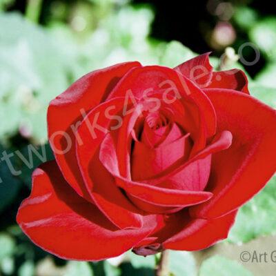 velvet-rose