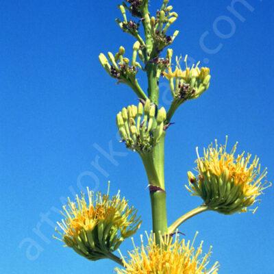 Agave-Bloom-Photo-Prints