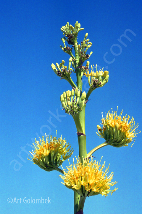 Agave-Bloom-Photo-Prints