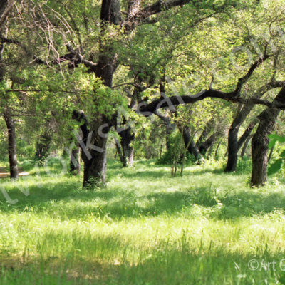 California-Oaks-Photo-Prints
