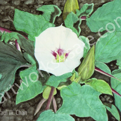 Datura-Moonflower-1-Giclee-Art-Prints