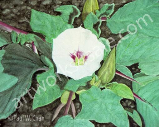 Datura-Moonflower-1-Giclee-Art-Prints