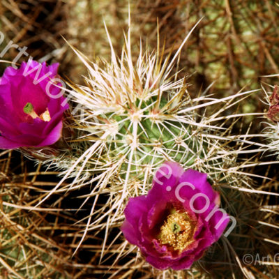 Hedgehog-Cactus-Photo-Prints