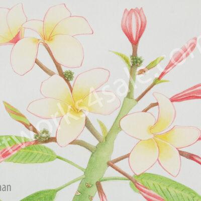 Plumeria-2-Giclee-Art-Prints