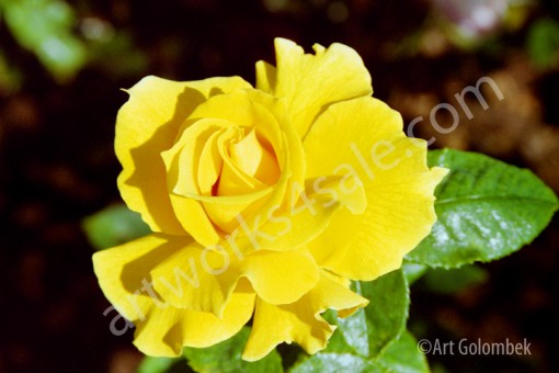 Yellow-Rose-Photo-Prints